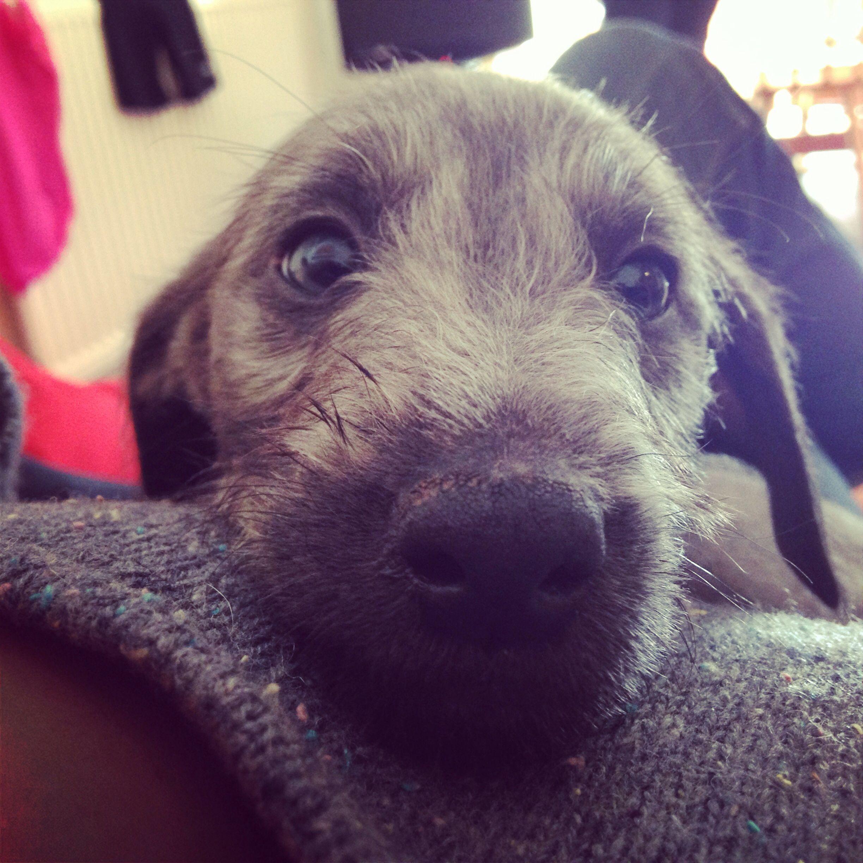 Bedlington Terrier Dog Socks