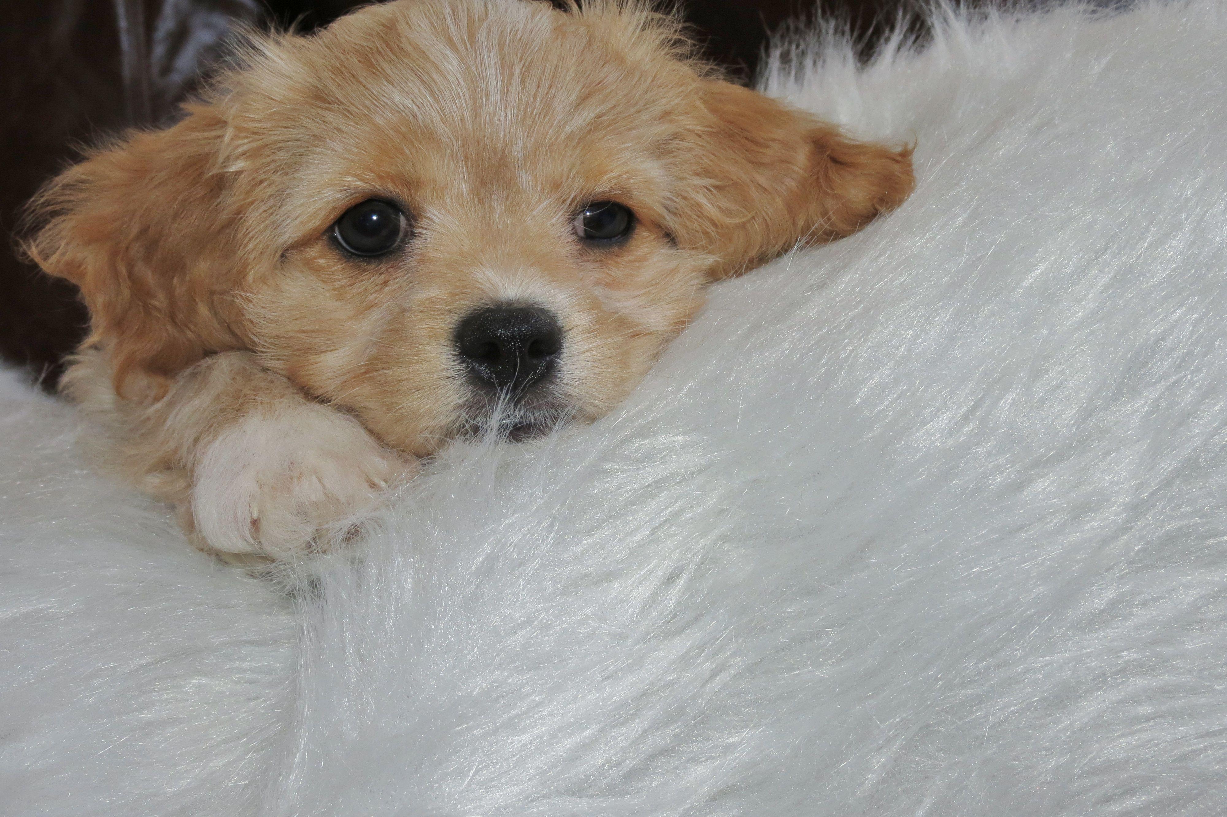 Beautiful Ruby Cavachon Rosie Travelling To Her Home In Massachusetts Soon Cavachon Puppies Cavachon Puppies