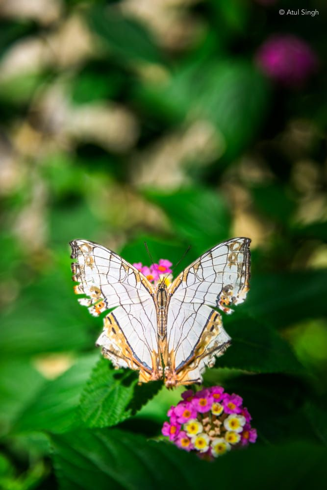 Butterfly Butterfly Moth Insects