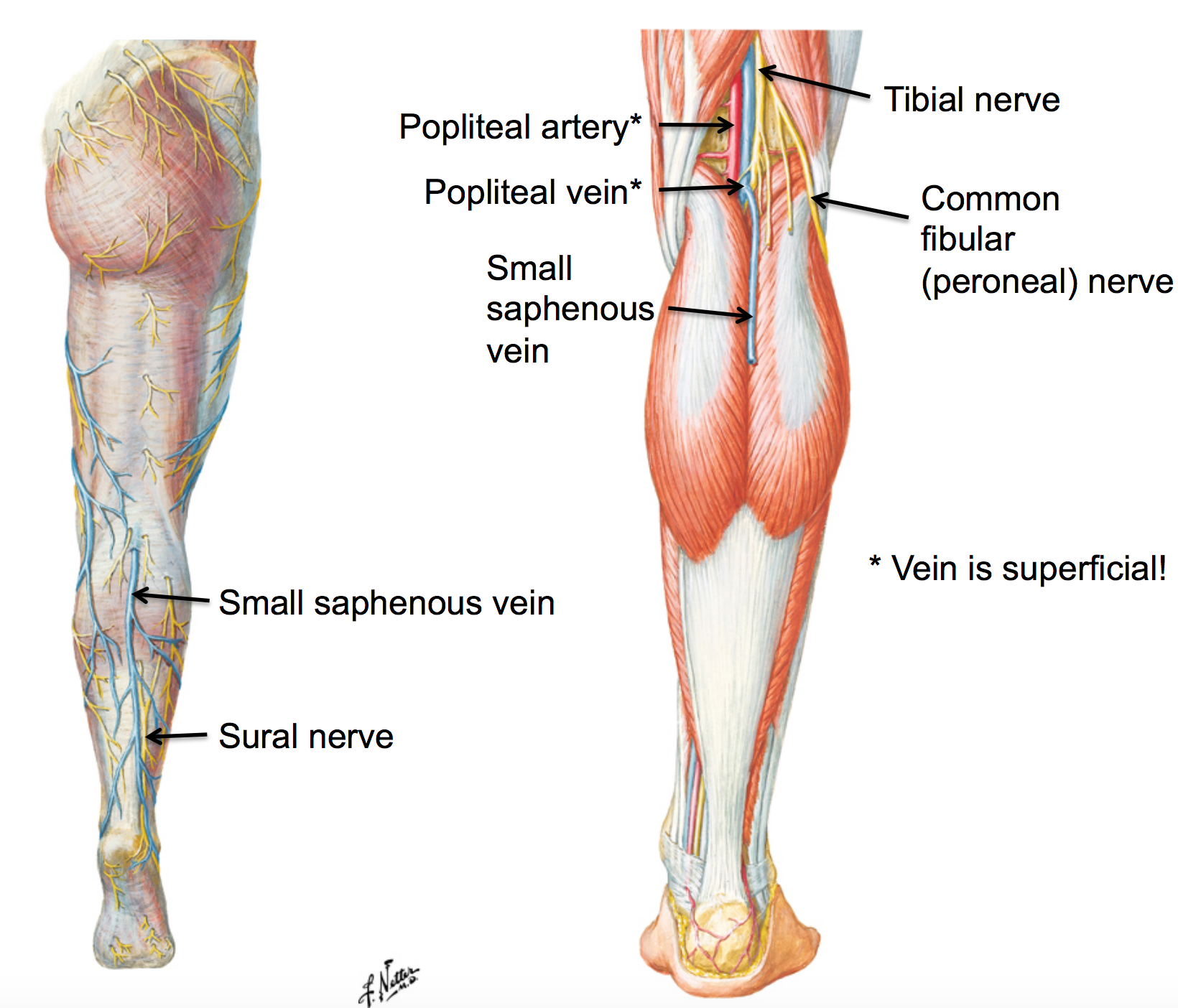 image small_saphenous_vein for definition side of card | Areas of ...