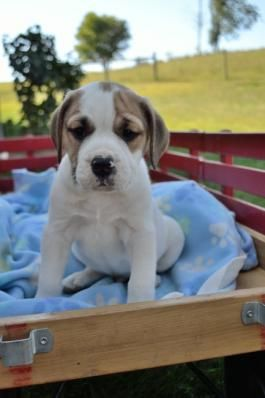 Beabull Puppies For Sale Puppies Lancaster Puppies Puppies For