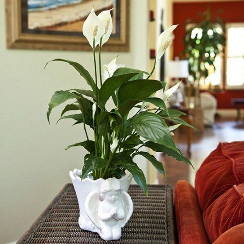 Sympathy Gift Peace Lily in Angel Container - Live Plant Gift - Green Gift - Sympathy Gift - Sympathy Plant - Bereavement Gift - Bereavement Plant - Ships fast via 2-Day Air - http://flowersnhoney.com/sympathy-gift-peace-lily-in-angel-container-live-plant-gift-green-gift-sympathy-gift-sympathy-plant-bereavement-gift-bereavement-plant-ships-fast-via-2-day-air/