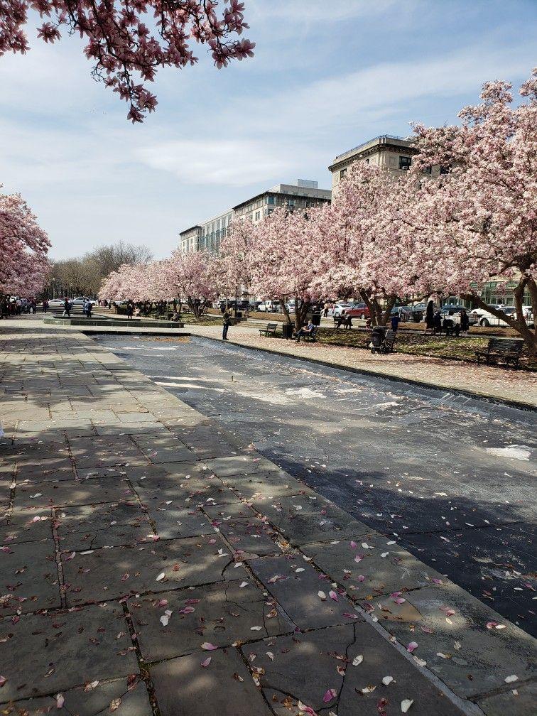 Japanese Cherry Blossoms Japanese Cherry Blossom Nature Photography Japanese Cherry