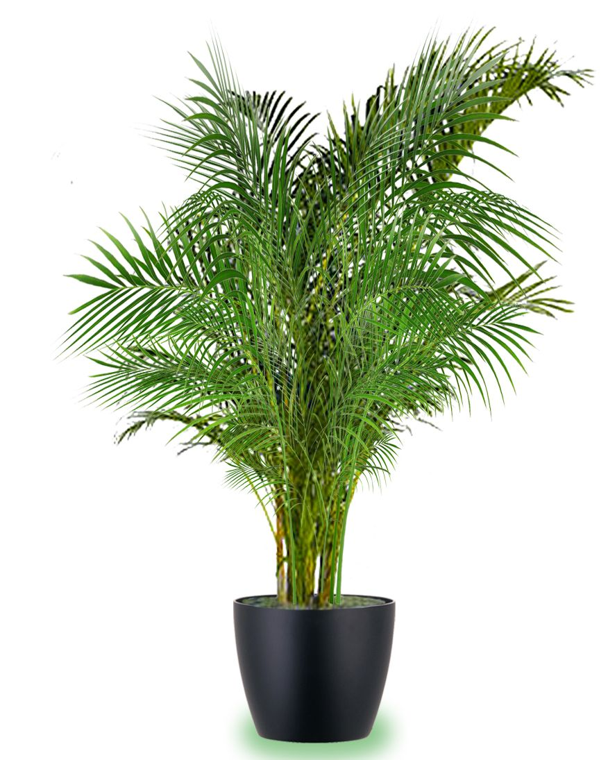 This Areca Palm is a great way to bring a tropical lush vibe to your special