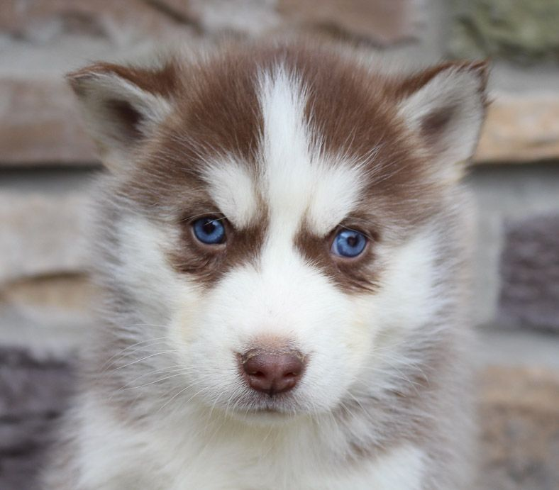 Breed Siberian Husky Gender Female Registry Akc Personality Sweet Date Available Dec 19 2019 Meet Rosetta With Images Puppies Cute Puppies For Sale Puppies For Sale
