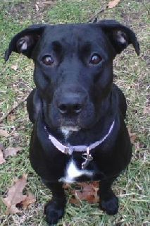 Black Lab Pitbull Mix Google Search Pitbull Lab Mix Dogs