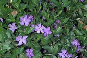 2.VINCA MINOR (also known as PERIWINKLE) -  small shiny leaves, small violet star-shaped flowers in spring and then intermittently during summer and autumn. Good ground cover. Vinca is evergreen and low-lying and gradually spreads, so needs to be kept under control. Shade ok.