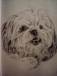 how to draw a realistic shih tzu