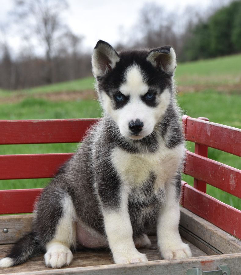 Pin by Samanthaguevara on Dog Puppies, Husky puppies for