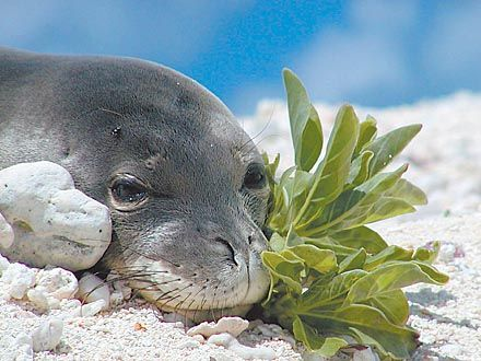 Hawaiian Monk Seal With Her Baby Hand Carved From Exotic Gray Hibiscus Wood.
