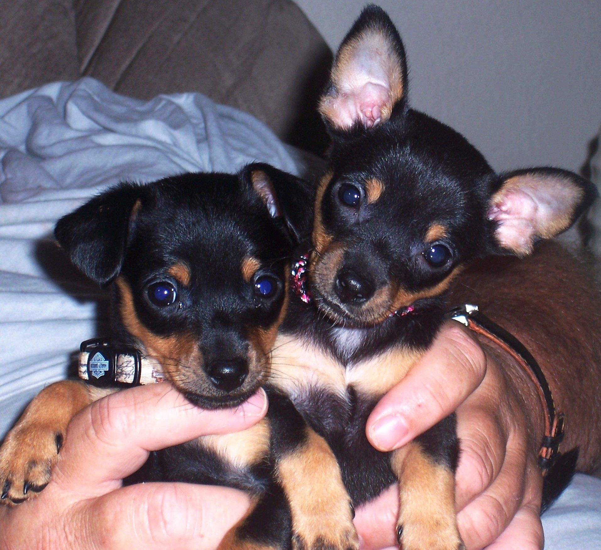 My Babies Harley Jasmine They Re Min Pin Chihuahua Mix Chihuahua Mix Puppies Chihuahua Puppies Doberman Pinscher Puppy