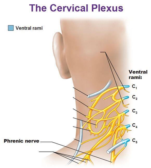 cervical plexus showing phrenic nerve and ventral rami c1 c2 c3 c4 ...