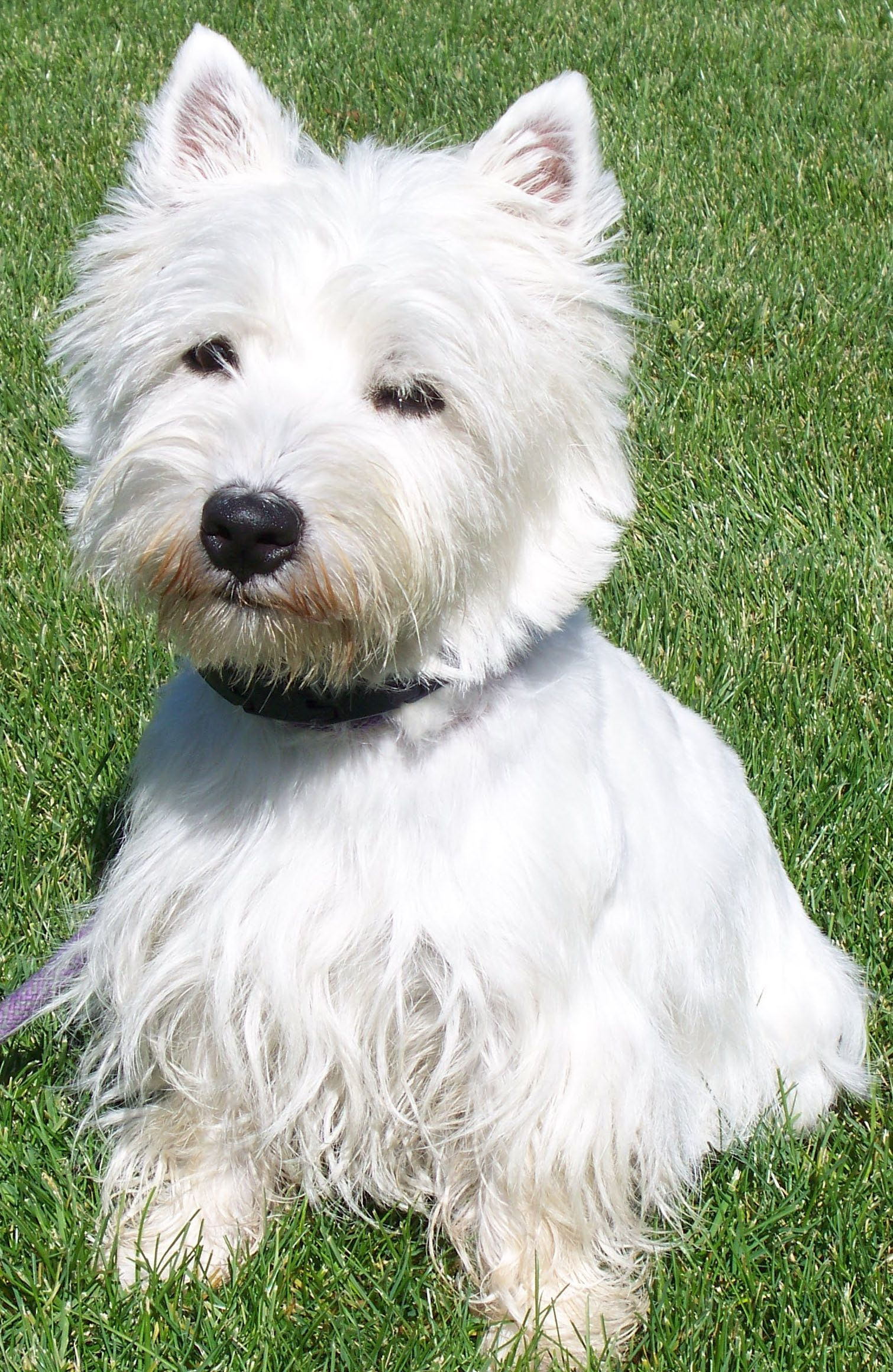 Westie S Skin And Could Allow You Can Take Your Pet S Skin You Can Find Out More Details At The Link Of Th West Highland Terrier Dog Ownership Scottie Dog