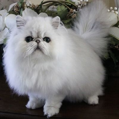 You Paid How Much For Your Pet 13 Most Expensive Cat Breeds In The World Gatitos Esponjosos Gatos Felino