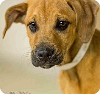 Gahanna, OH Boxer Mix. Meet Bilbo, a puppy for adoption