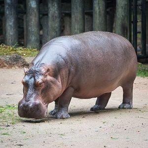 Top 15 Hippopotamus Facts - Diet, Habitat & More | Facts ...