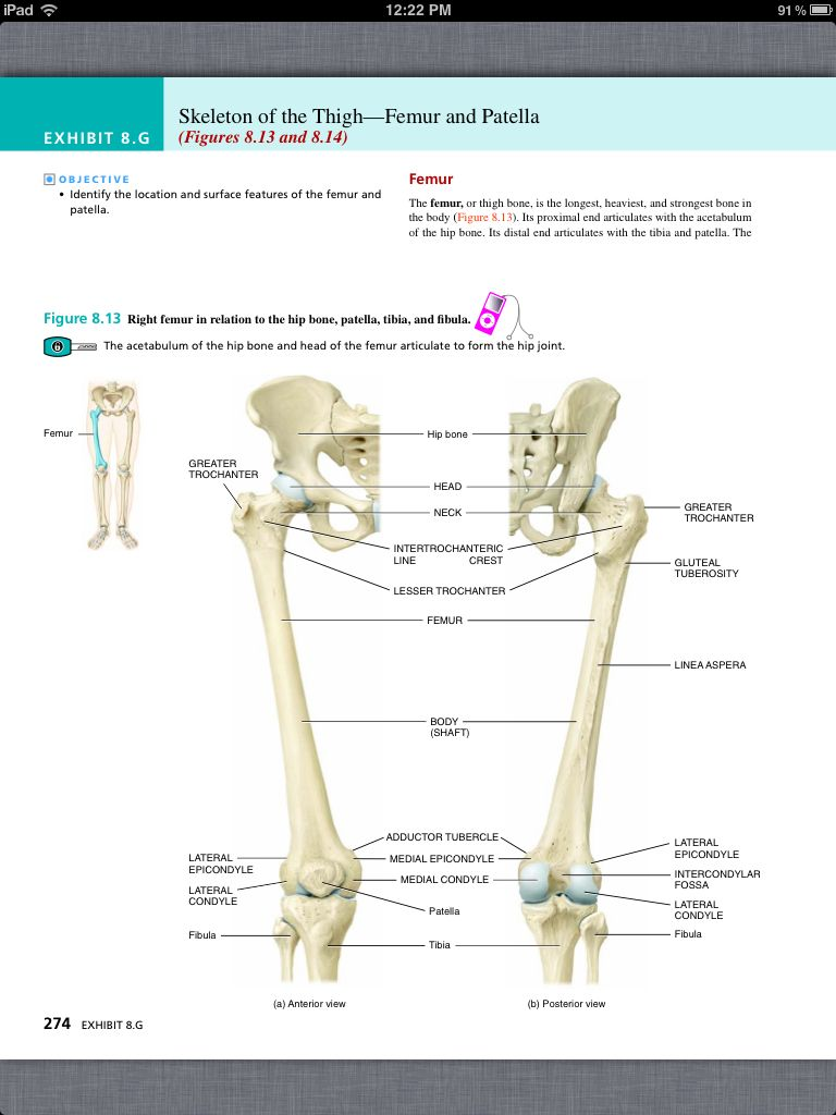 worksheet Appendicular Skeleton Worksheet principles of anatomy and physiology chapter 8 the skeletal system appendicular skeleton