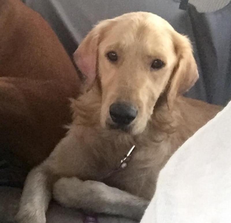 Meet Franklin, an adoptable Golden Retriever looking for a