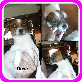 Malvern Ar Jack Russell Terrier Mix Meet Dixie A Dog For