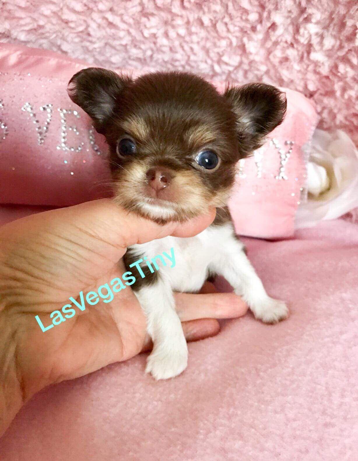 Chihuahua Chihuahuapuppy Dogs Cuteanimals Lasvegas Chihuahua