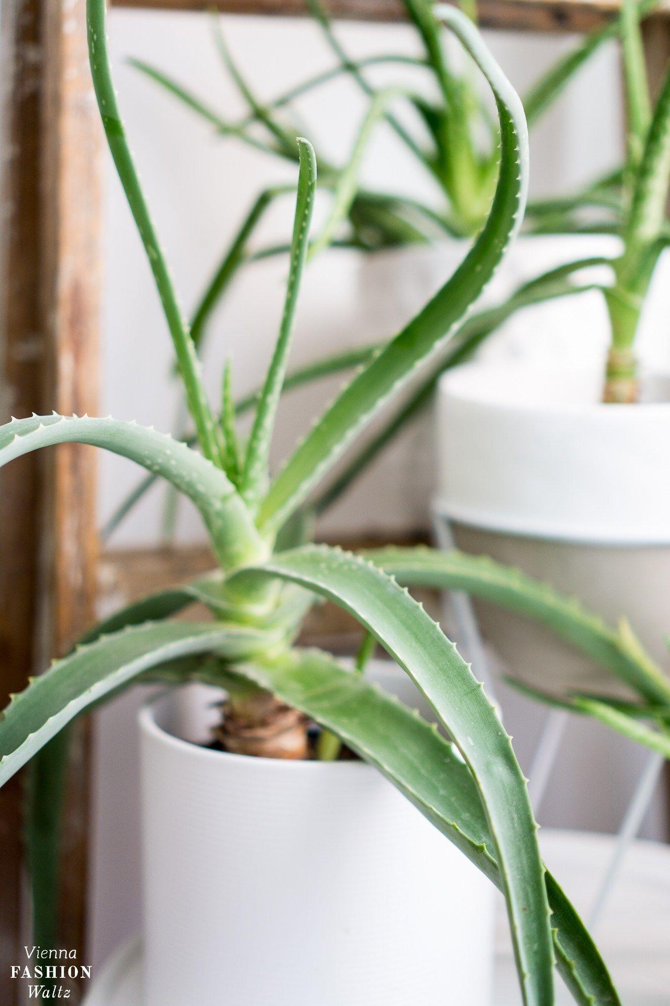 Aloe Vera Pflanzen Pflege Wirkung Und Anwendung Vfw Pflanzen Pflege Aloe Vera Pflanzen