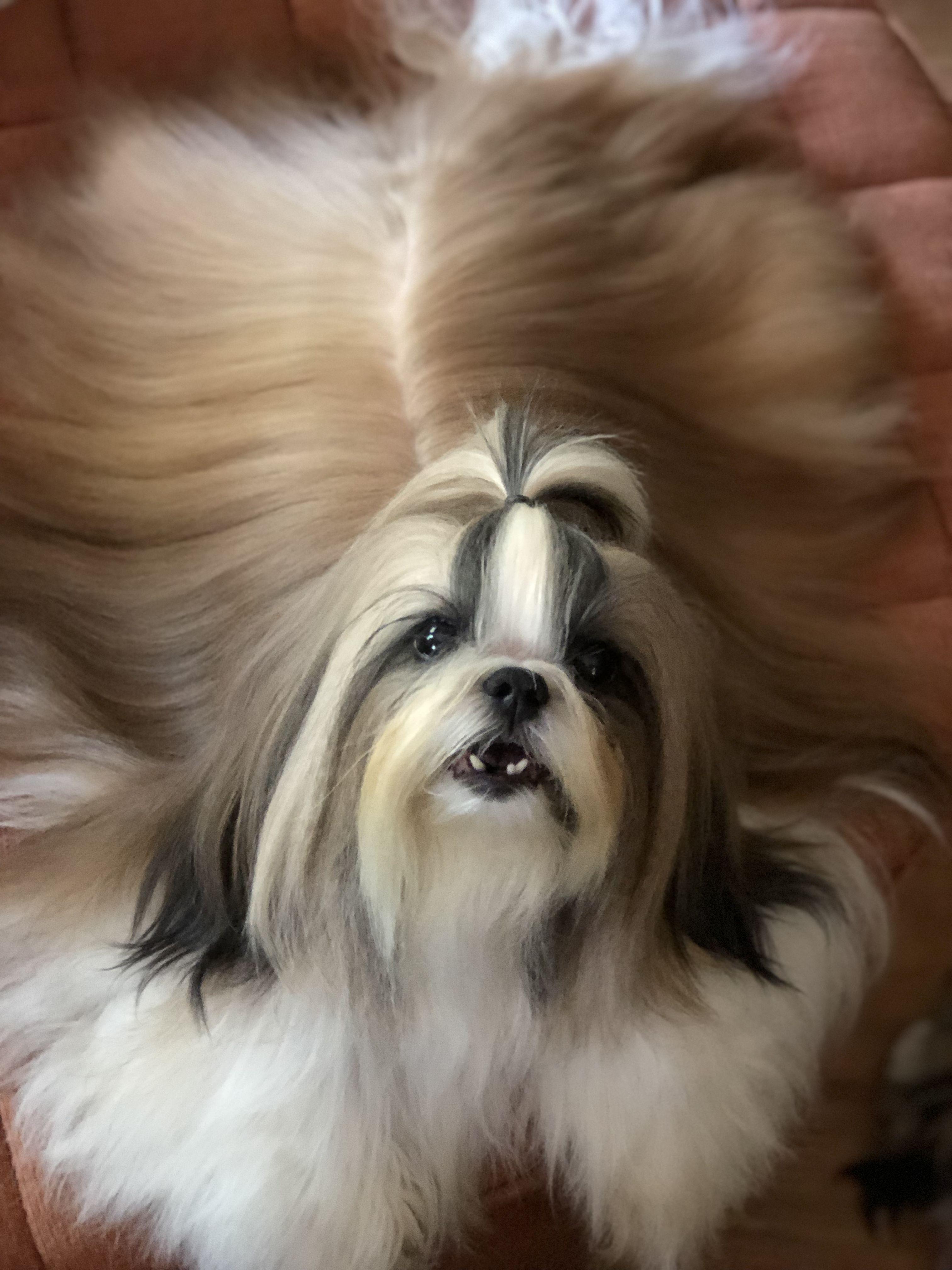 Longhair Shihtzu Shih Tzu Long Hair Styles Shitzu