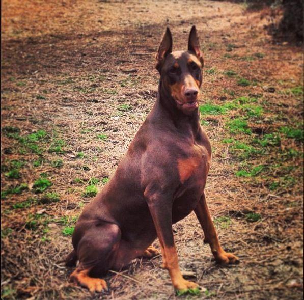 Pin by tieler torralba on Doberman | Doberman dogs ...