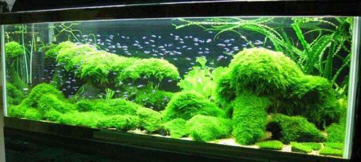 Beautiful Moss Tank Good For Shrimps Saltwater Aquariums