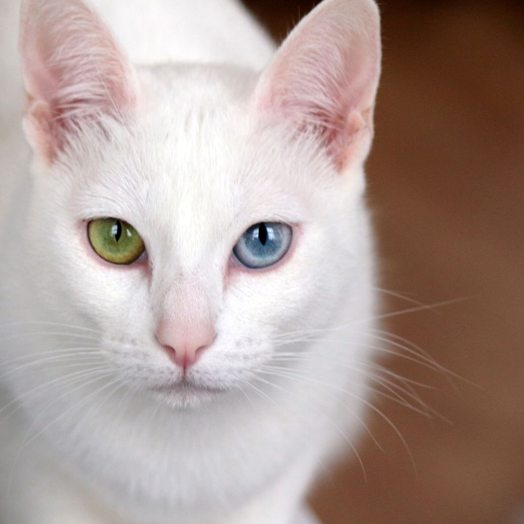 Khao Manee Intense Bright Eyes A Typical Feature Of Kao Mani So They Are Compared With A Jewel Female Name Cute Cats And Kittens White Cats Pretty Cats