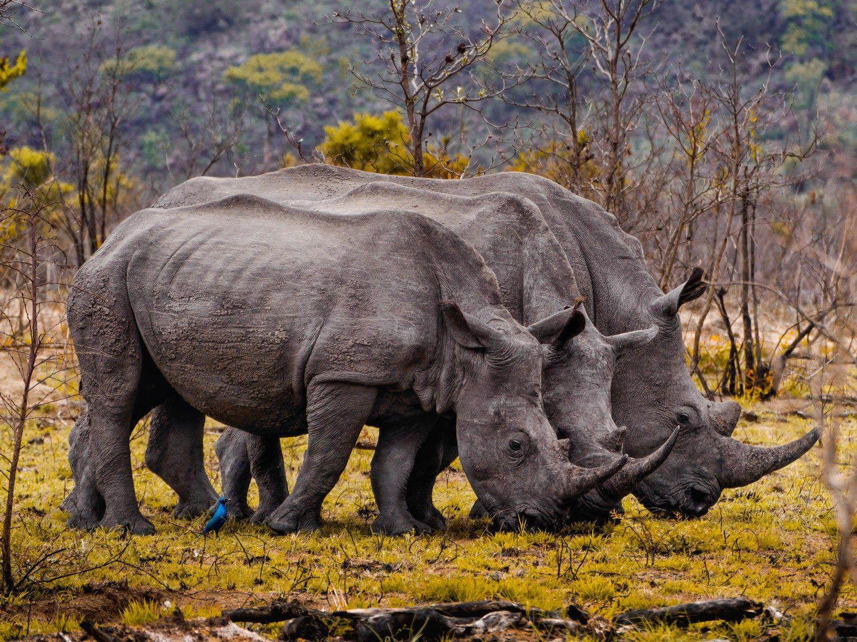 21 More Amazing Animal Photos: White rhinos lined up.
