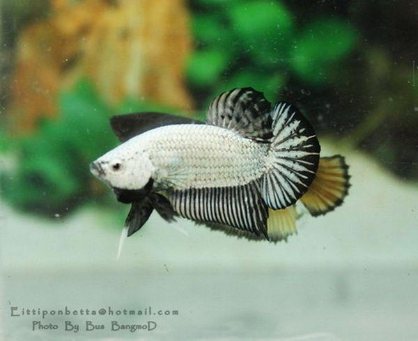 Black and white dragonscale plakat betta fish plakat for Black and white betta fish