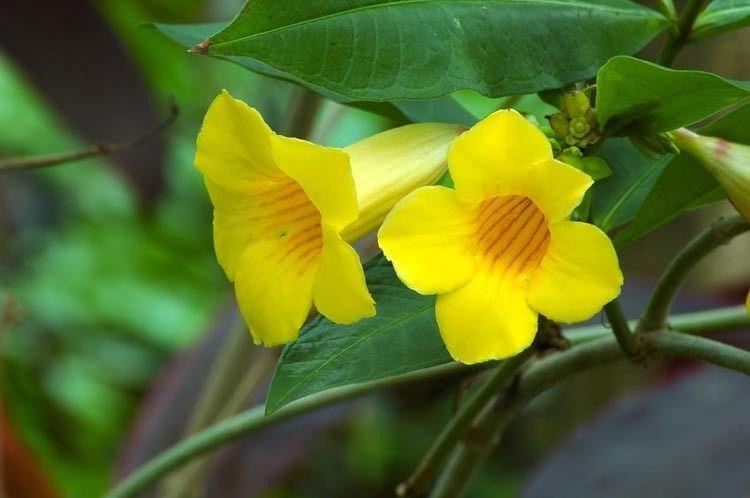 Campsis Radicans F Flava Trumpet Vine Yellow Trumpet Vine