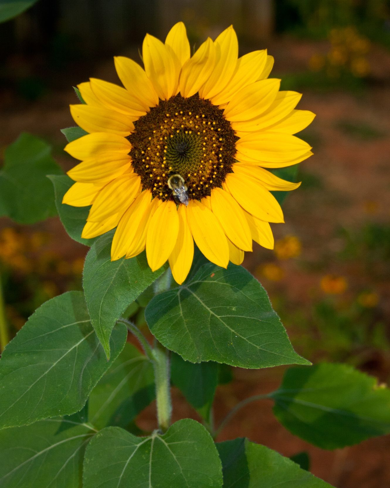 Another Single Sunflower October Flowers Sunflower Seeds Flower Pictures