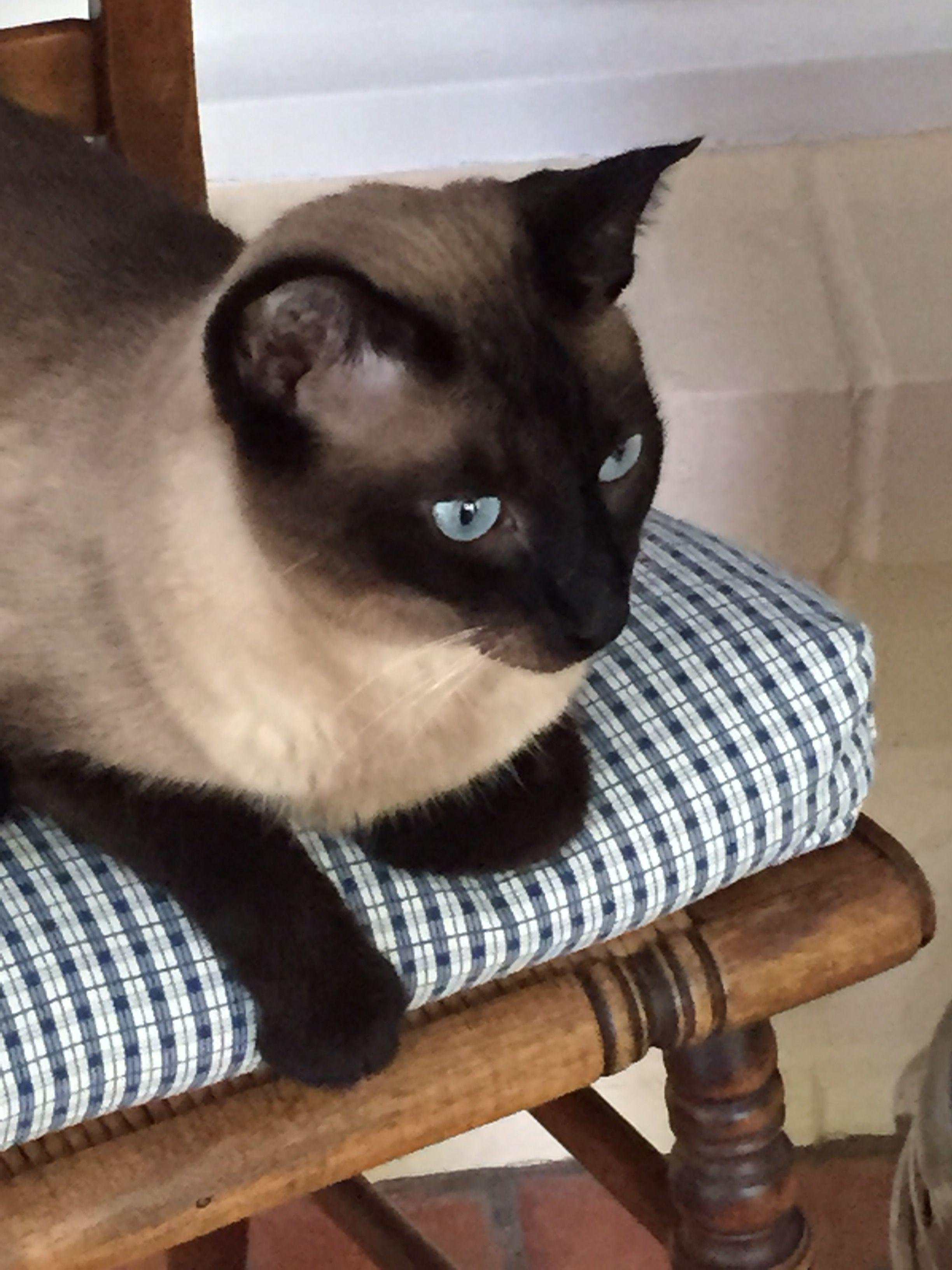 8d0c955944bd496fed89e9c980900293 Jpg 2448 3264 Cat Breeds Siamese Burmese Cat Balinese Cat