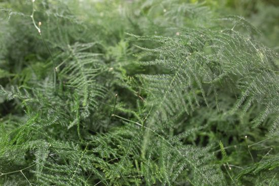 Image result for covent garden asparagus fern