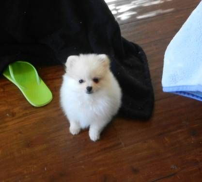 Tiny Little White Girl Pomeranian Puppy For Sale Pomeranian Puppy For Sale Pomeranian Puppy Puppies
