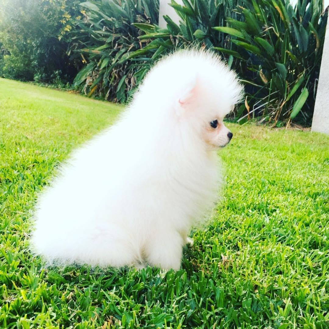 Super Small Pomeranian Puppy For Sale With Fci Pomeranian Puppy