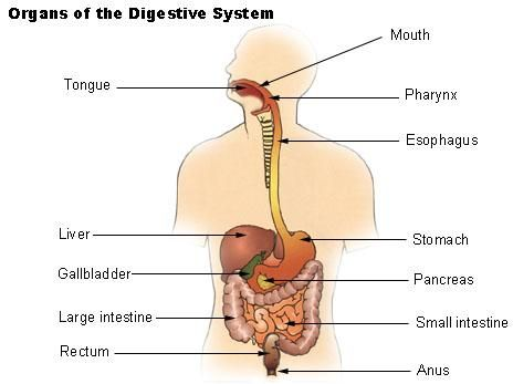 Digestive System - Lesson | Pinterest | Human digestive system ...