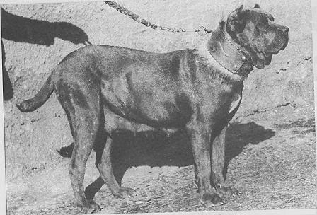 1950 Neapolitan Mastiff