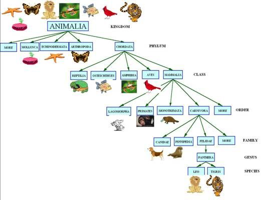 Taxonomy Concept Map Answers.Animal Kingdom Classification Tree Google Search Biology