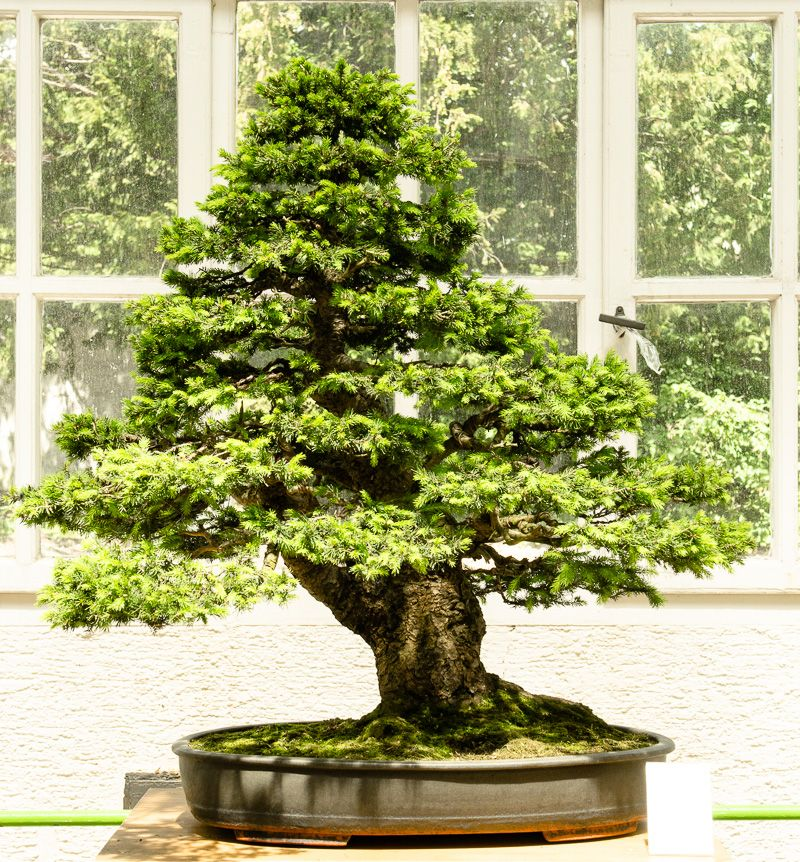 Fresh Der vierte und letzte Teil der Bonsaiausstellung im botanischen Garten M nchen Nymphenburg Nadelb ume ist der thematische Schwerpunkt