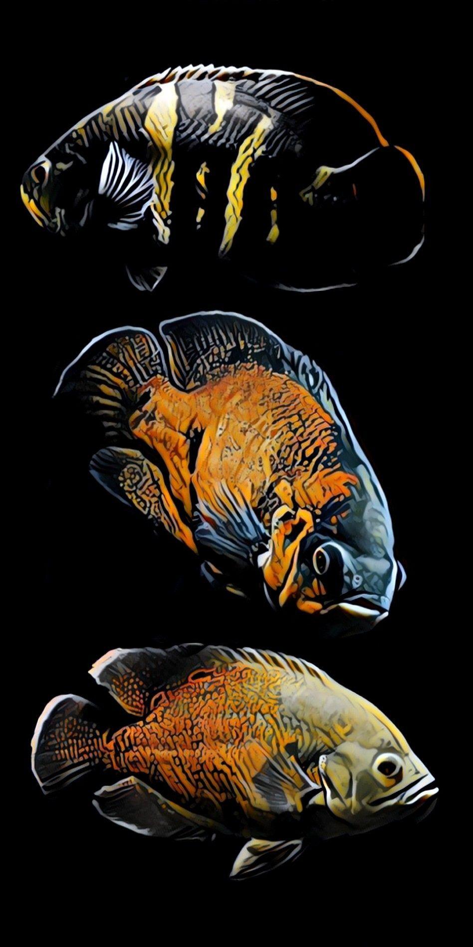 Oscars Oscar Fish Tropical Fish Fish Art