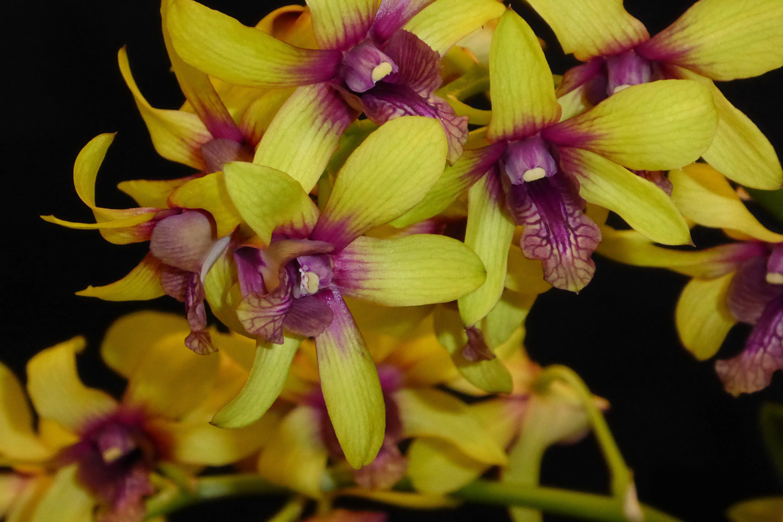 Dendrobium Burana Fancy Orchids. Orchids, Beautiful