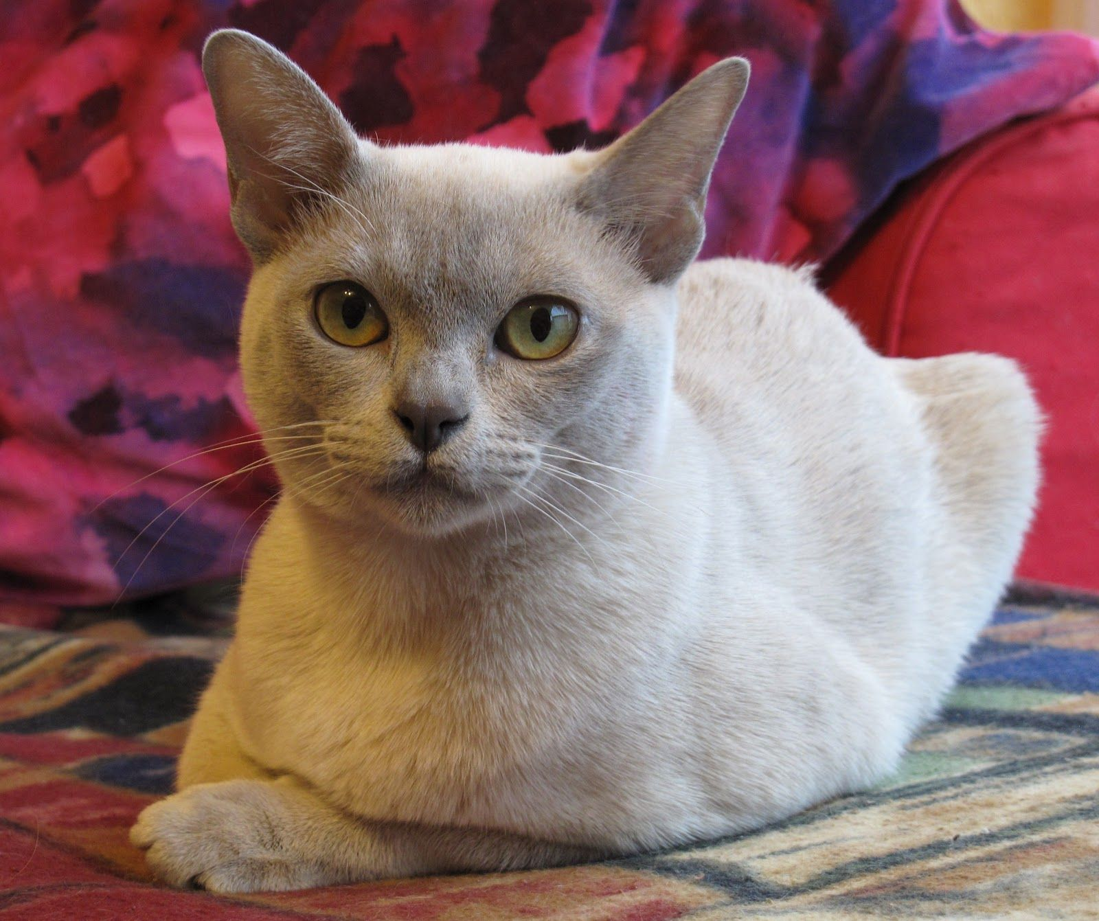 Lilac Burmese Cat Breeds Burmese Cat Burmese Kittens