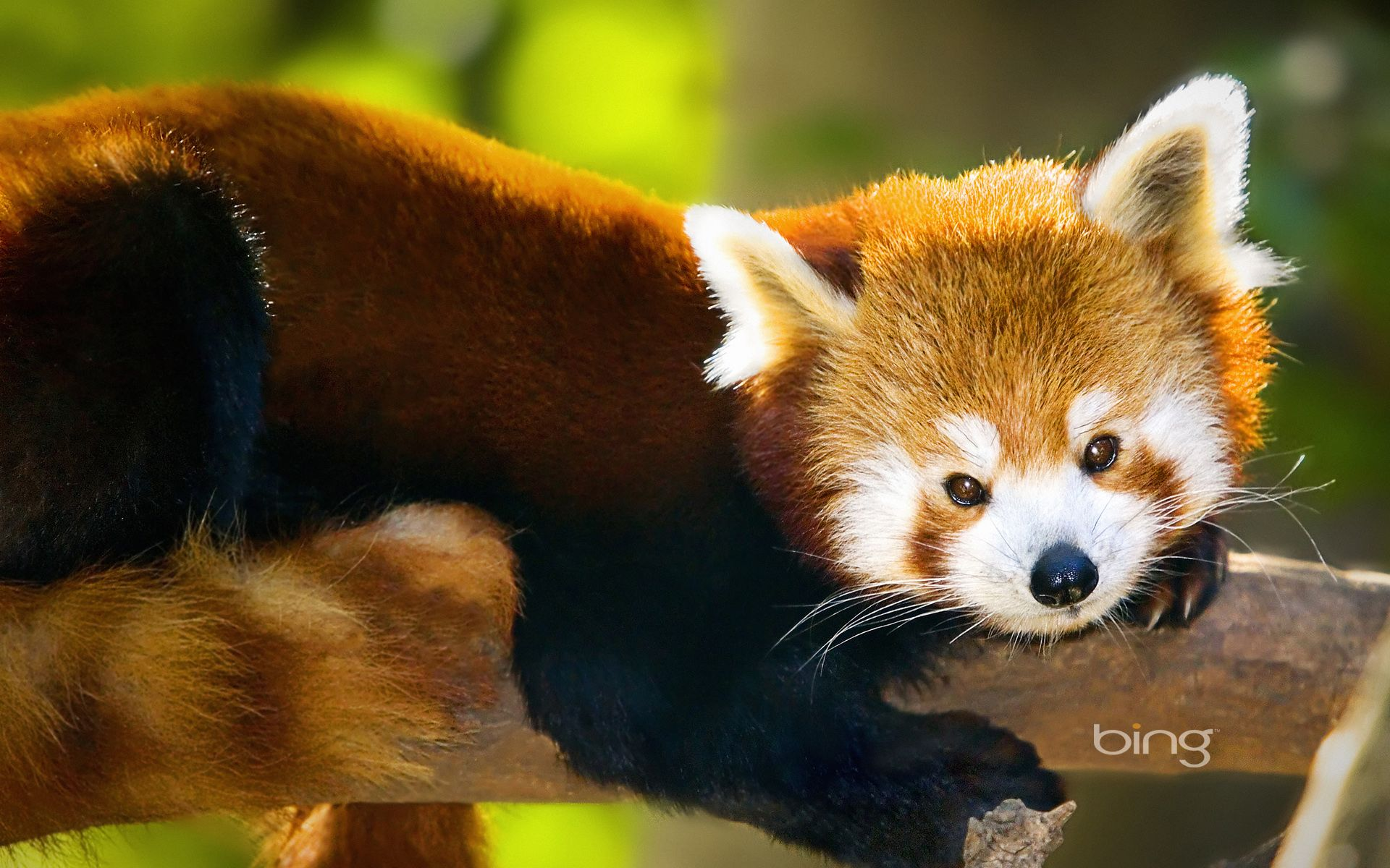 Brilliant Red Panda Hd Desktop Wallpaper High Definition Animals Panda Background Red Panda
