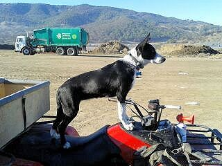 If Anyone S Looking For Mcnab Or Mcnab Border Collie Mix Check