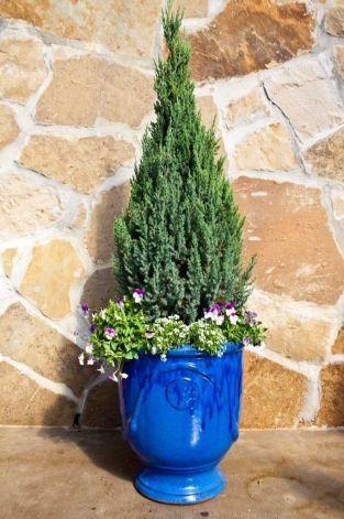 Image result for juniper blue point potted   Gardening   Porch