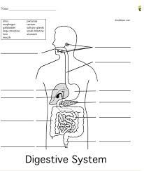 Blank Digestive System For Kids Google Search Digestive System