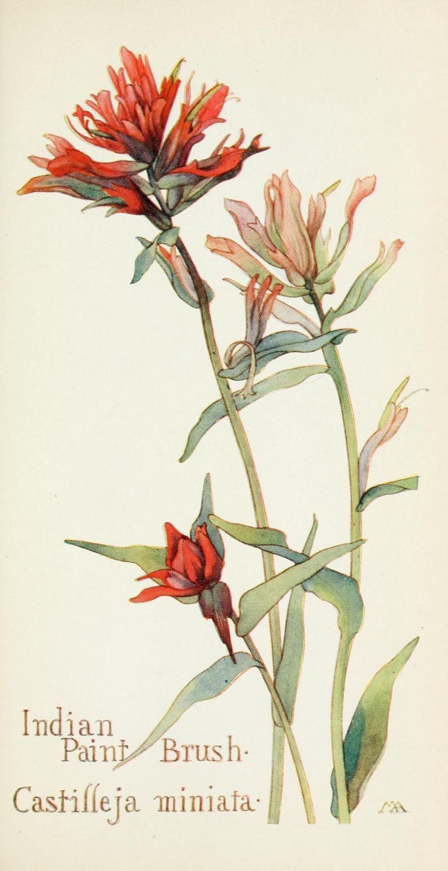 Field book of western wild flowers Botanical drawings