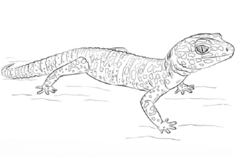 leopard gecko coloring page the leopard gecko or spotted fat tailed gecko eublepharis. Black Bedroom Furniture Sets. Home Design Ideas